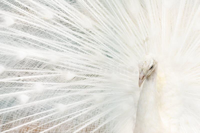 Portret van een witte pauw, met open veren, die de bruids dans uitvoeren royalty-vrije stock afbeeldingen