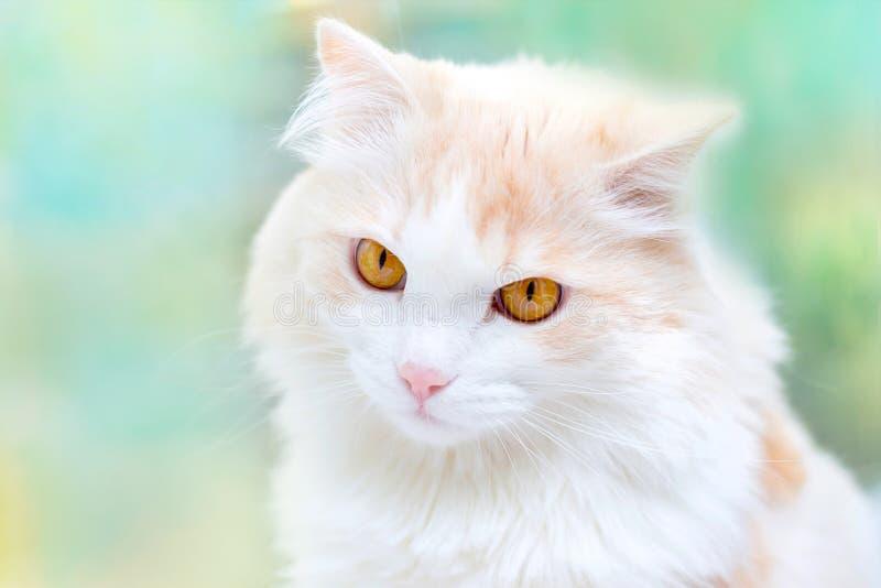Portret van een witte Turkse angora kat royalty-vrije stock foto