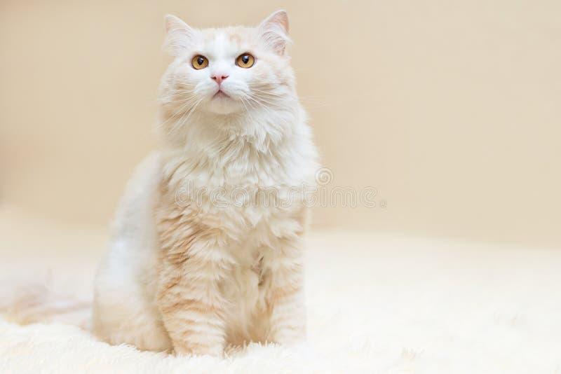 Portret van een witte Turkse angora kat stock fotografie