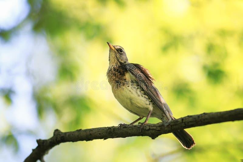 Portret van een zitting van de vogellijster op een tak in een de lentepark F royalty-vrije stock foto