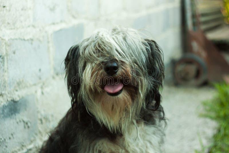 Portret van een zwart-witte pluizige hond Leuke grappige dieren huisdieren stock afbeelding