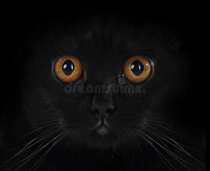 Portret van een zwarte Britse kat royalty-vrije stock afbeeldingen