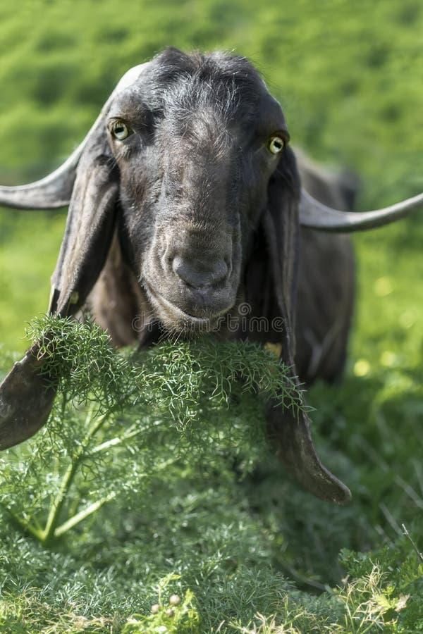 Portret van een zwarte geit die gras eten en de camera bekijken stock foto