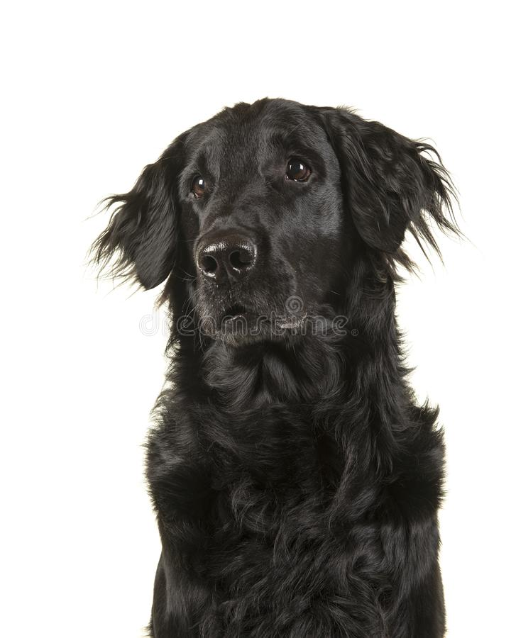Portret van een zwarte hond van de flatcoatretriever omhooggaand en sidewa die kijken stock foto's