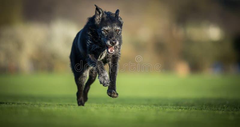 Portret van een zwarte hond die snelle openlucht in werking stellen royalty-vrije stock afbeeldingen