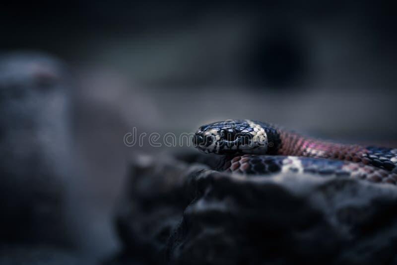Portret van een zwarte slang op een zwarte achtergrond stock foto's