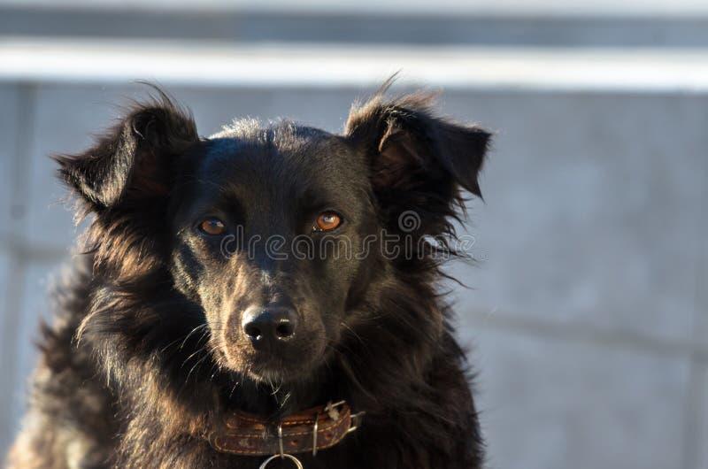 Portret van een zwarte verdwaalde colliehond royalty-vrije stock afbeelding