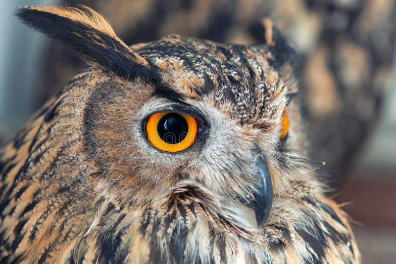 Portret van Europees-Aziatisch Eagle Owl, bubobubo Op witte achtergrond Sluit omhoog royalty-vrije stock fotografie
