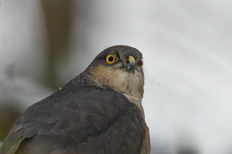 Portret van Europees-Aziatische Sparrowhawk stock afbeeldingen