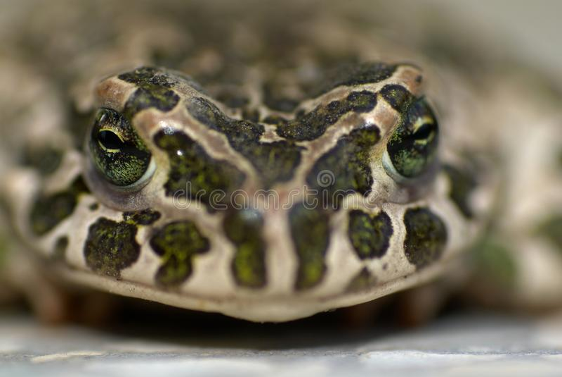 Portret van Europese groene viridis van padbufo royalty-vrije stock foto's