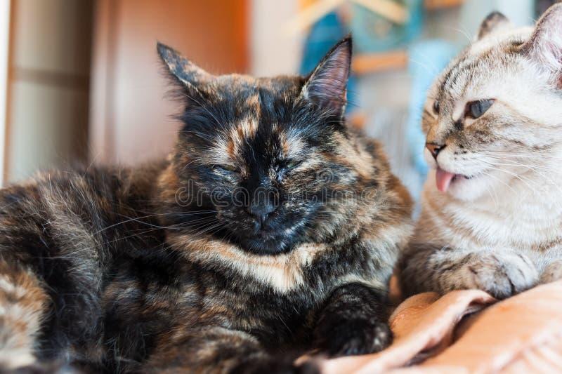 Portret van Europese kat Calicokat royalty-vrije stock foto