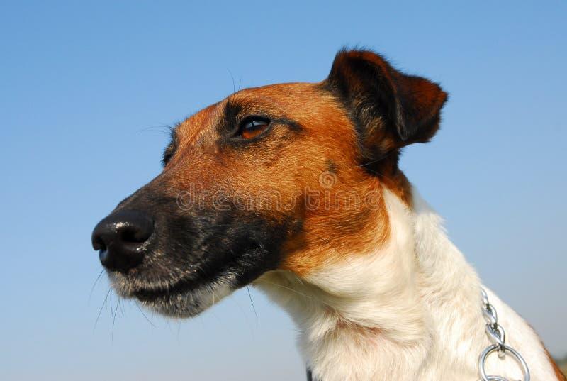 Portret van fox-terrier stock foto