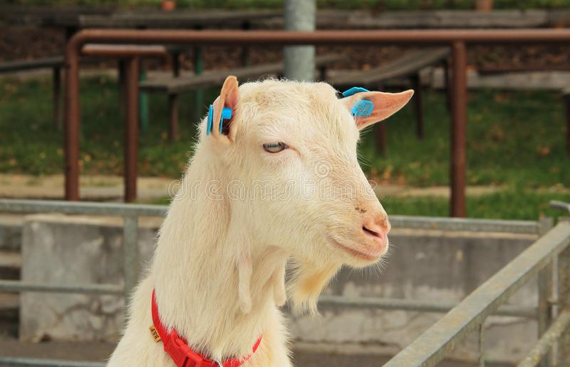 Portret van geit royalty-vrije stock afbeelding