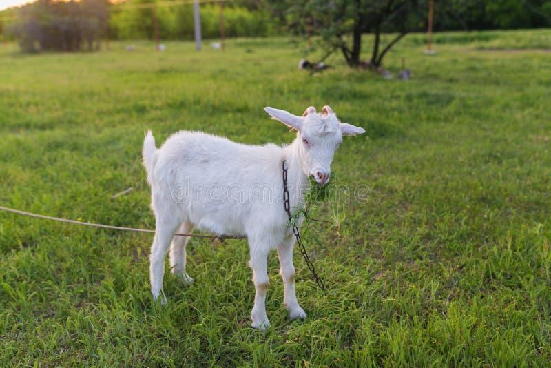 Portret van geit die een gras op weide eten stock foto