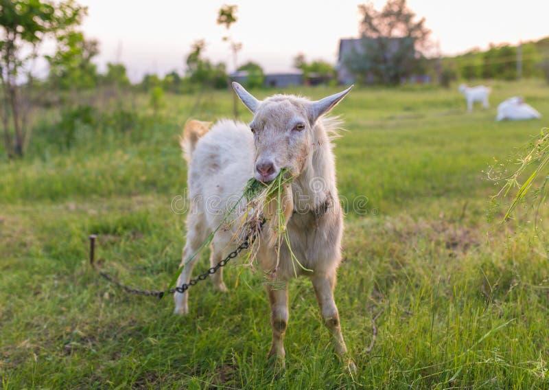 Portret van geit die een gras op weide eten stock fotografie