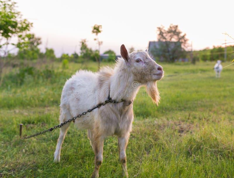 Portret van geit die een gras op weide eten stock foto's
