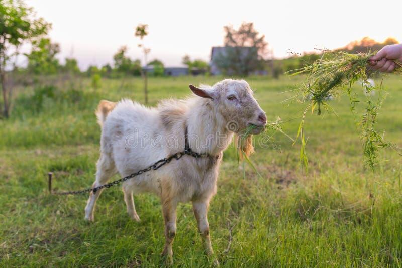 Portret van geit die een gras op weide eten royalty-vrije stock afbeelding