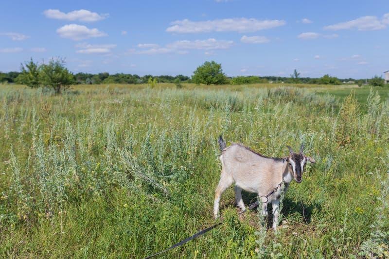 Portret van geit die een gras op weide eten royalty-vrije stock foto's