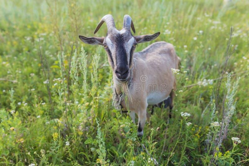 Portret van geit die een gras op weide eten royalty-vrije stock foto