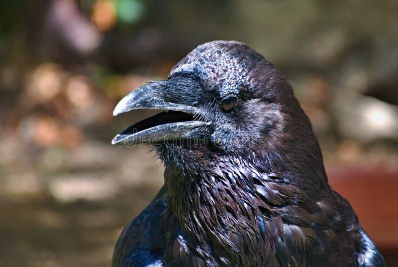 Portret van gemeenschappelijke raaf, corvus corax stock foto