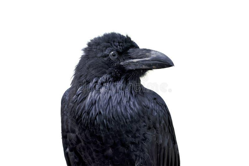 Portret van gemeenschappelijke raaf (Corvus corax) op een witte achtergrond royalty-vrije stock foto