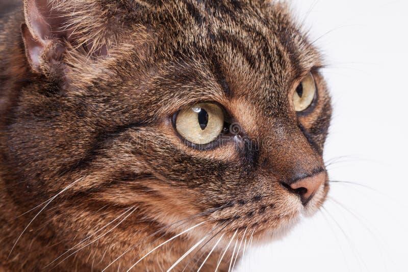 Portret van gestreepte kat volwassen kat. Witte achtergrond. royalty-vrije stock foto