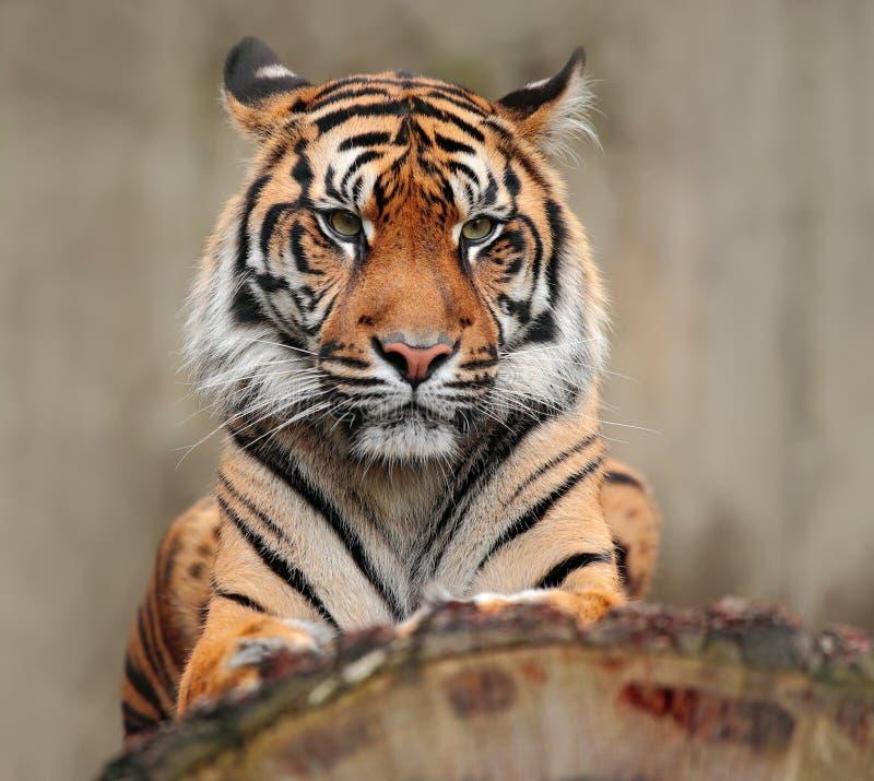 Portret van gevaarlijk dier Sumatrantijger, sumatrae van Panthera Tigris, zeldzame tijgerondersoort die in het Indonesische eilan royalty-vrije stock afbeelding