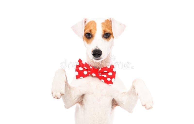 Portret van grappige hond Jack Russell Terrier in een vlinderdas stock afbeeldingen