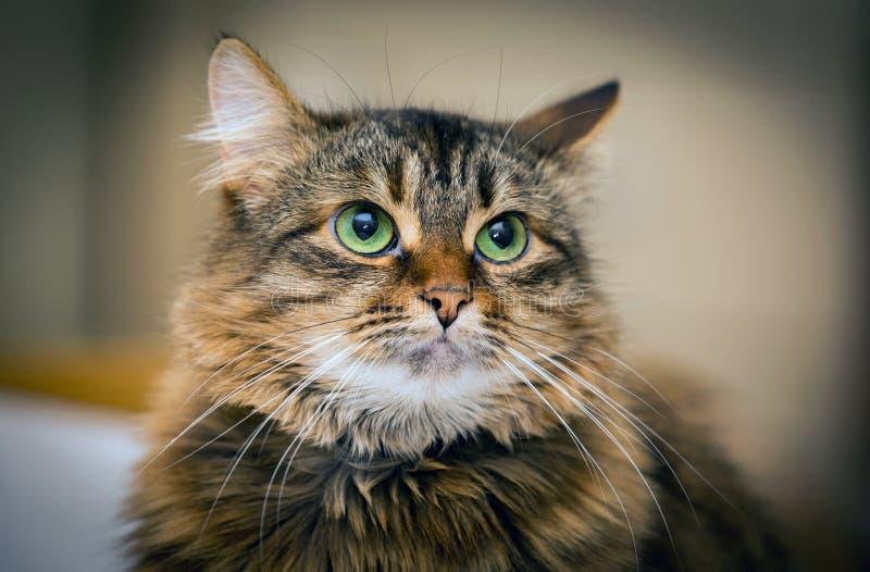 Portret van grappige kat royalty-vrije stock afbeelding