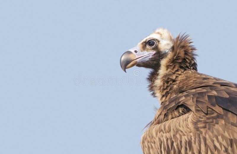 Portret van Griffon Vulture in de wildernis stock afbeeldingen