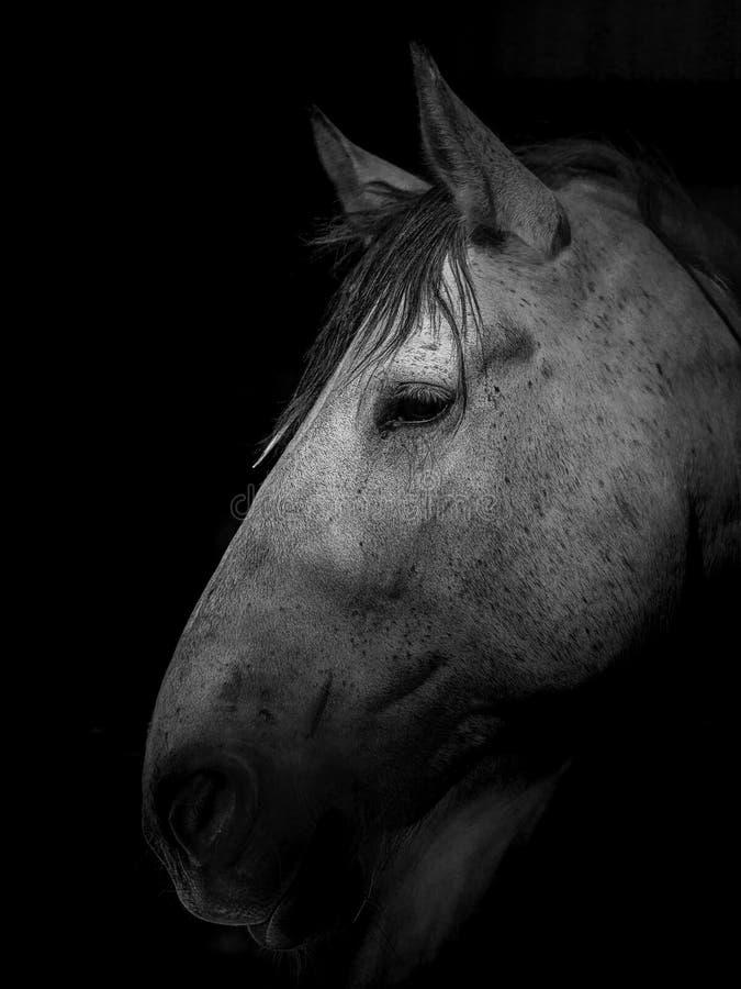 Portret van grijs ontwerppaard royalty-vrije stock foto