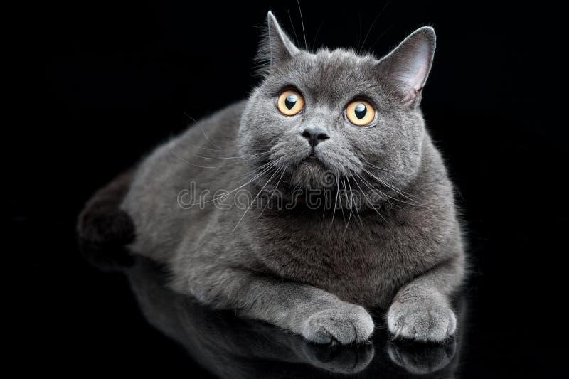 Portret van grijze Britse shorthairkat stock foto's