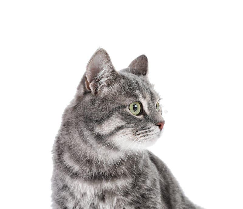 Portret van grijze gestreepte katkat op witte achtergrond royalty-vrije stock afbeeldingen
