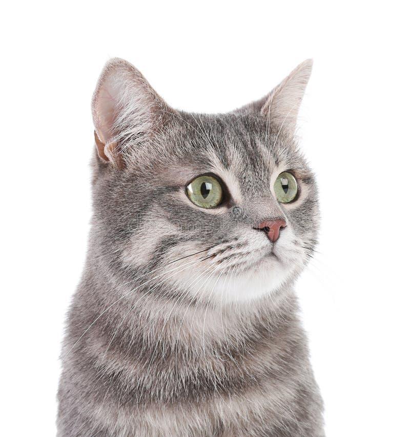 Portret van grijze gestreepte katkat op witte achtergrond stock afbeelding