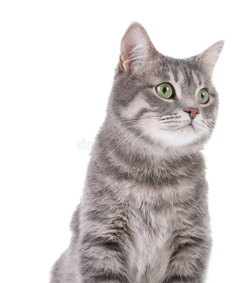 Portret van grijze gestreepte katkat op witte achtergrond stock foto's