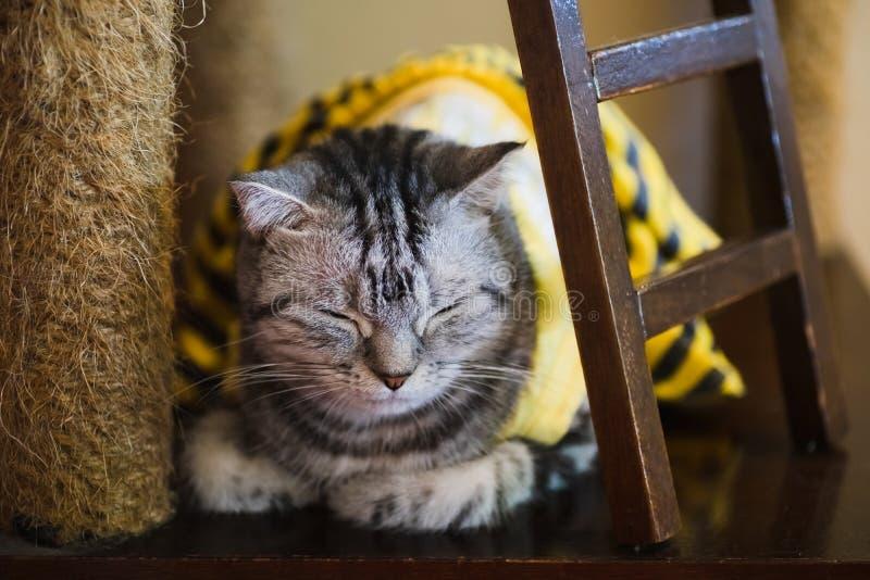 Portret van grijze kattenslaap Slaap binnenlandse katjesclose-up, die zich in de voorgrond concentreren stock foto's