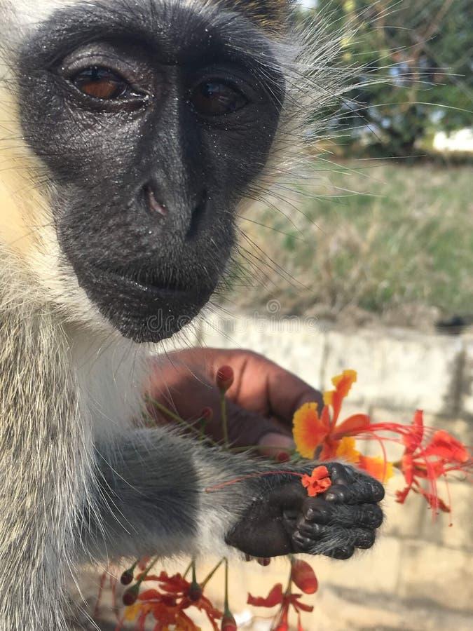 Portret van groene aap royalty-vrije stock fotografie
