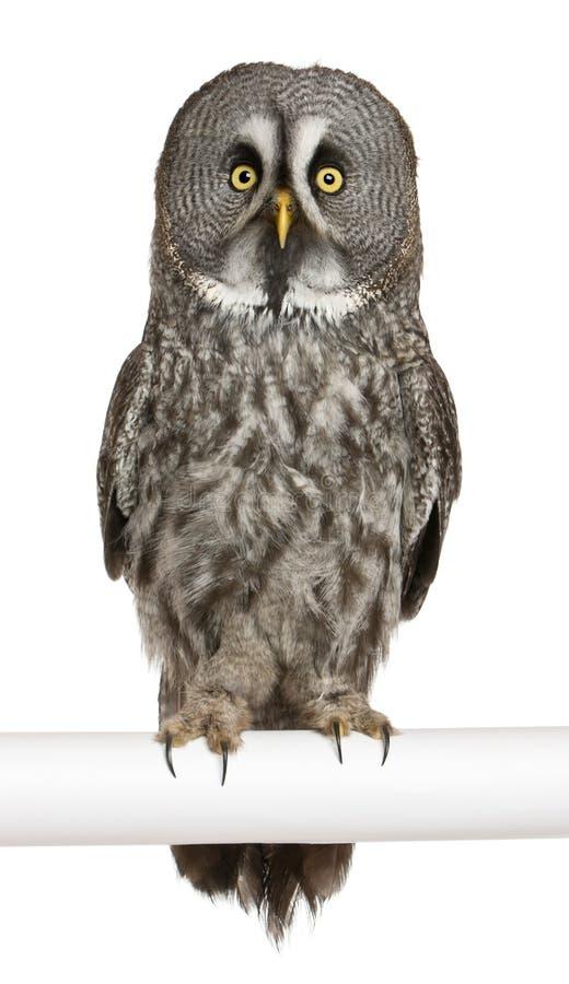Portret van Grote Grijze Uil of de Uil van Lapland royalty-vrije stock fotografie