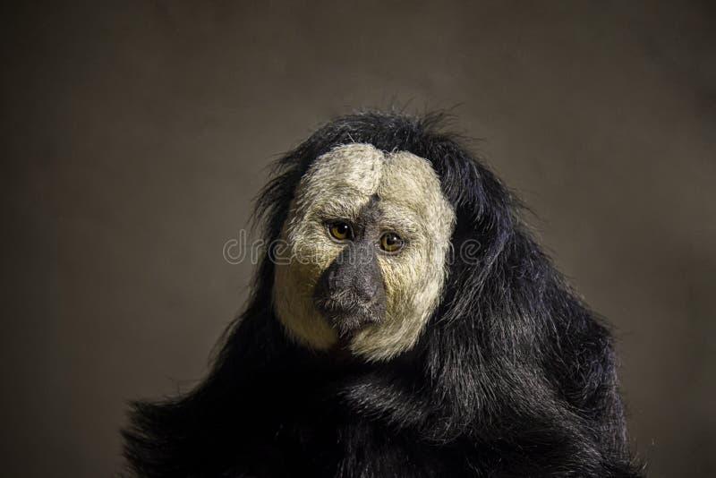 Portret van Guianan Saki royalty-vrije stock foto