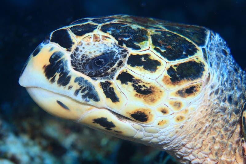 Portret van Hawksbill-zeeschildpad stock foto's