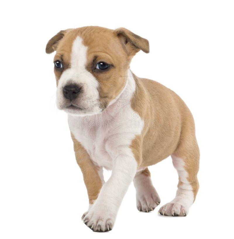 Portret van het Amerikaanse Staffordshire Puppy van de Terriër royalty-vrije stock fotografie