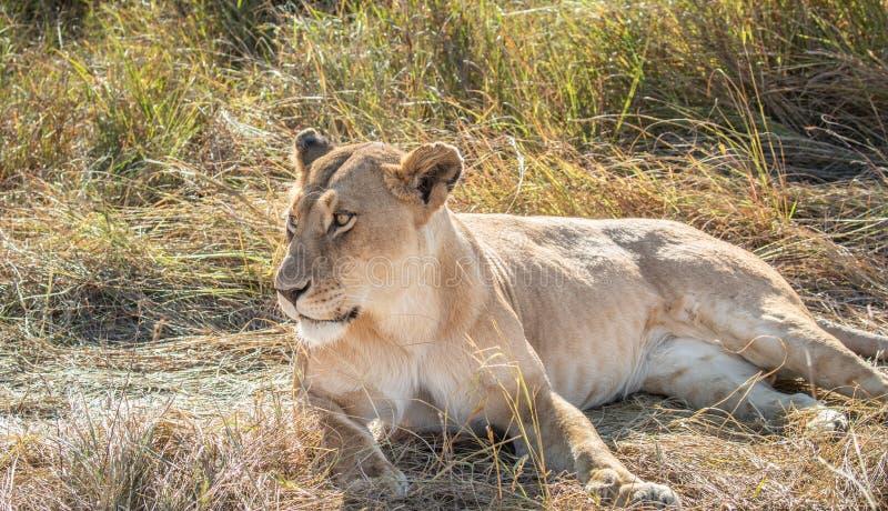 Portret van het close-up het volledige lichaam van vrouwelijke leeuw, Panthera-leo, die in lang gras met haar omhoog hoofd liggen royalty-vrije stock foto's