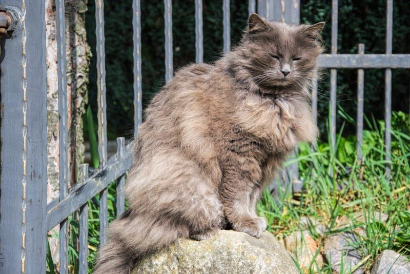 Portret van het dikke long-hair grijze de kat van Chantilly Tiffany ontspannen in de tuin Sluit omhoog van vette vrouwelijke kat  royalty-vrije stock foto's
