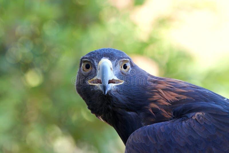 Portret van het Gouden Eagle-bek open bekijken direct kijker stock fotografie