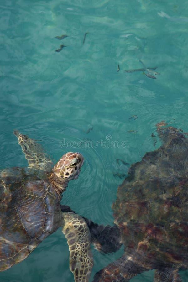 Portret van het hoofd van de dichte omhooggaande hawksbill zeeschildpad boven tropisch Mexicaans aquawater royalty-vrije stock afbeeldingen