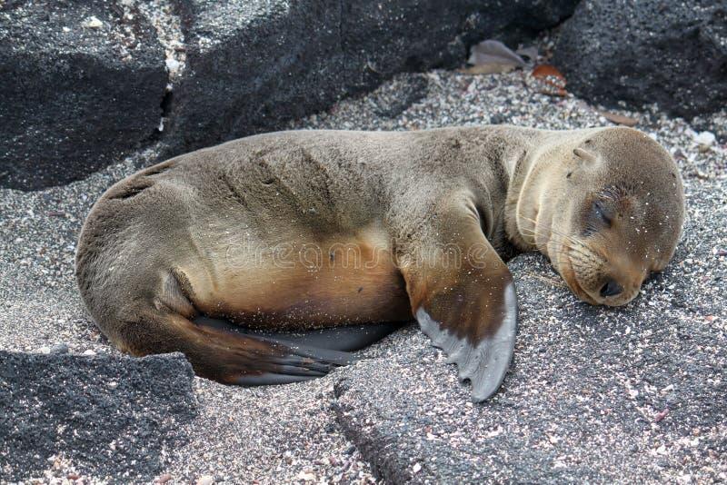 Portret van het jong van de bontzeeleeuw (de Galapagos, Ecuador) royalty-vrije stock foto's