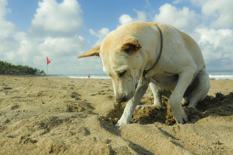 Portret van het jonge gelukkige en speelse witte hond spelen alleen in het strand die op zand onder een blauwe hemel snijden stock fotografie