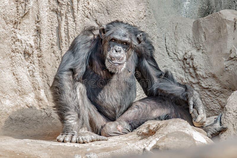 Portret van het lachen en het glimlachen volwassen Chimpansee stock afbeelding