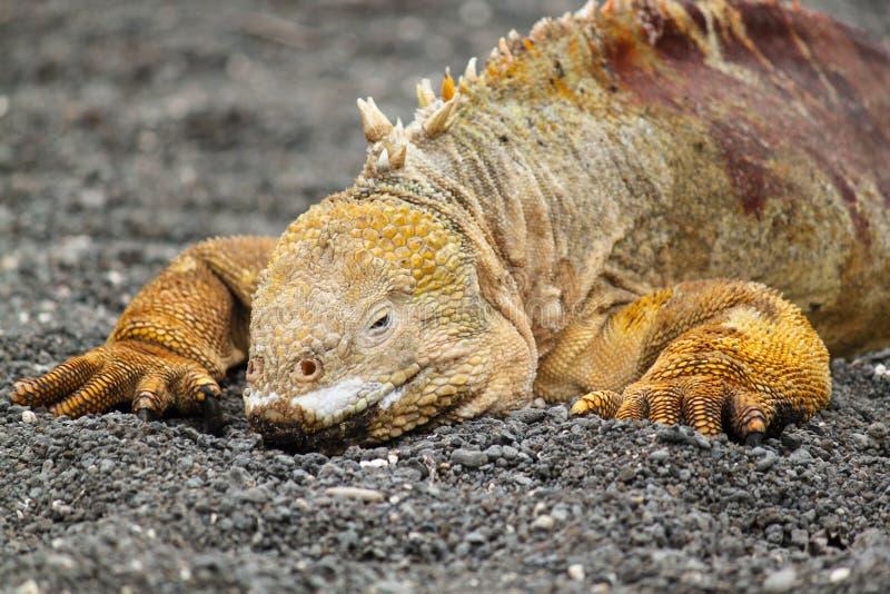 Portret van het Landleguaan van de Galapagos, Conolophus-subcristatus stock foto's