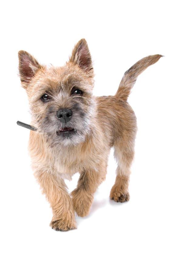 Portret van het leuke puppy van de steenhoopterriër stock foto